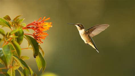Super Hummingbirds  Nature Pbs