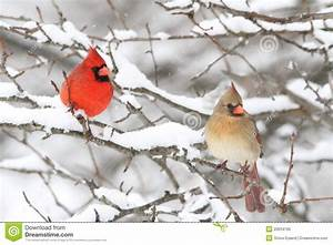 Cardinals In Snow Royalty Free Stock Photo - Image: 20034195