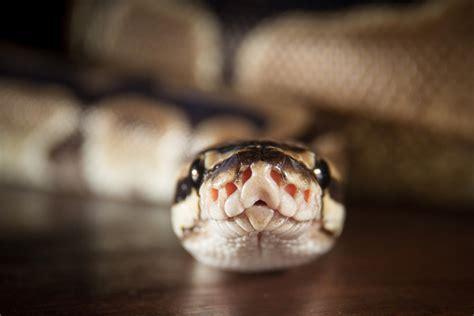 python programming simple snake toilet animals makes hard language istock might bites slithers eyes foot florida thinkstock tutorial development
