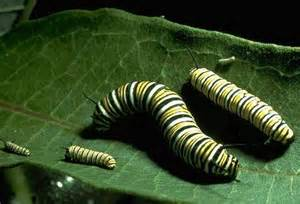 Monarch Butterfly Caterpillar Stages
