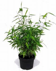 Bambus Pflanzen Kübel : fargesia murielae muriel bambus pflanzen versand f r die besten winterharten balkonpflanzen ~ Frokenaadalensverden.com Haus und Dekorationen
