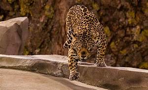 Woman attacked by jaguar while shooting selfies at zoo in ...  Jaguar