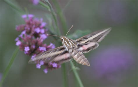 identification the iowa hummingbird project