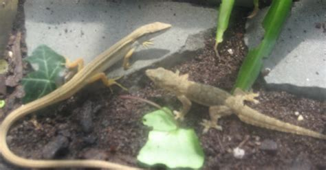 crested gecko shedding behavior a mixed species experience a word on mixing species