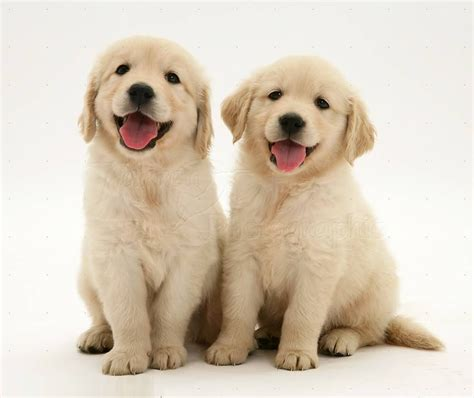 45 Most Beautiful Golden Retriever Dog Photos