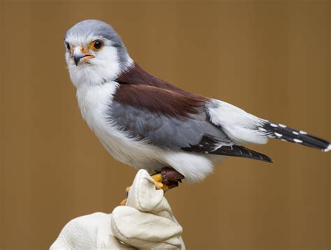 for sale images free pygmy falcon nathan rupert flickr