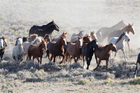 wild horses herd horse blm island long herds west mustangs salt wells advocates wyoming brumby creek euthanize running australia brumbies