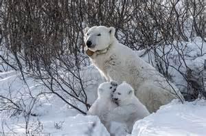 Thomas Kokta waits 11 days to capture polar bear cubs ...