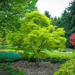 Koto Ito Komachi Japanese Maple Trees For Sale
