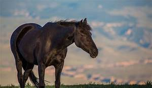 13 Breeds Where You Can Find All Black Horses | Helpful ...