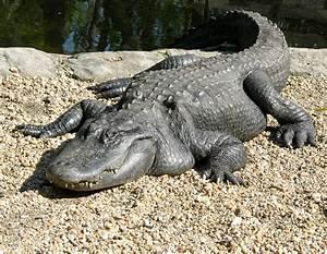 alligators and crocodiles | Florida alligator 1024x796 ...