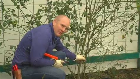 when to cut back climbing roses how to prune your climbing rose youtube