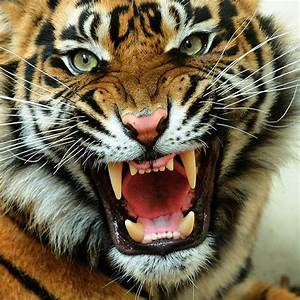 HD Animals Wallpapers: Angry Tiger Face Pictures