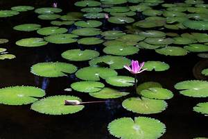 Pink Waterlily Bloom and Lily Pads | naturetime