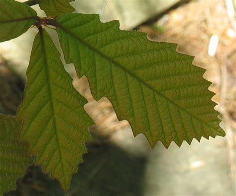 Using Georgia Native Plants: New Leaves