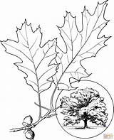 Oak Tree Drawing Coloring Printable Leaf Pages Getdrawings sketch template