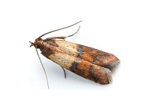 ready pest control pests indian meal moths