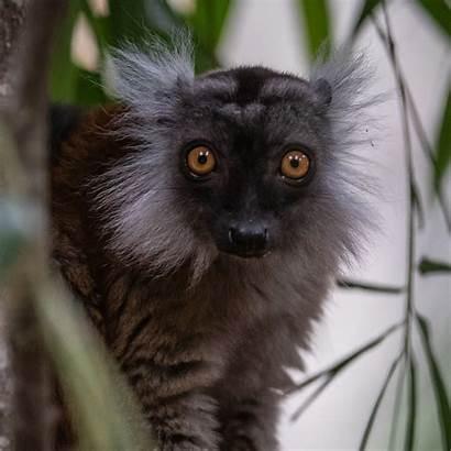 Lemur Zoo Animals Madagascar Chester Square