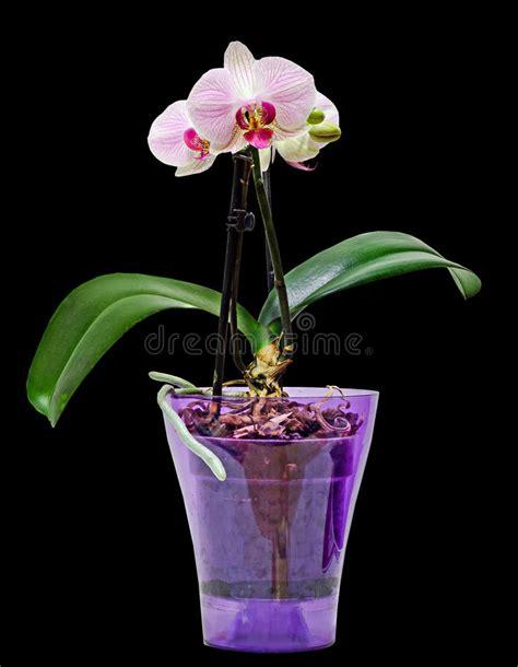 orchidea vaso trasparente l orchidea rosa ramo fiorisce con le foglie verdi in