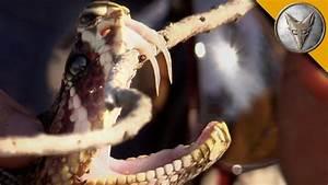 Insane Fangs Of The Eastern Diamondback Rattlesnake