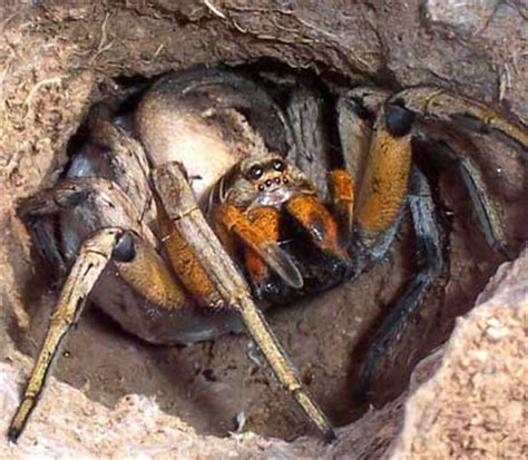 what does a wolf spider look like spider bites and symptoms largest spider in the world
