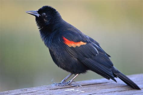 the fieldbrook reserve birds of a feather blackbirds