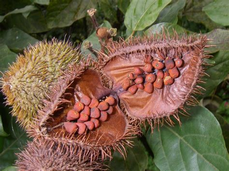 what is achiote achiote recipe puerto rican annatto oil whats4eats