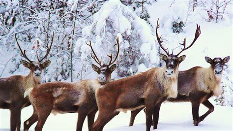 Wallpaper Reindeer by Reindeer Hd Wallpapers Desktop Gj9 Desktop Background