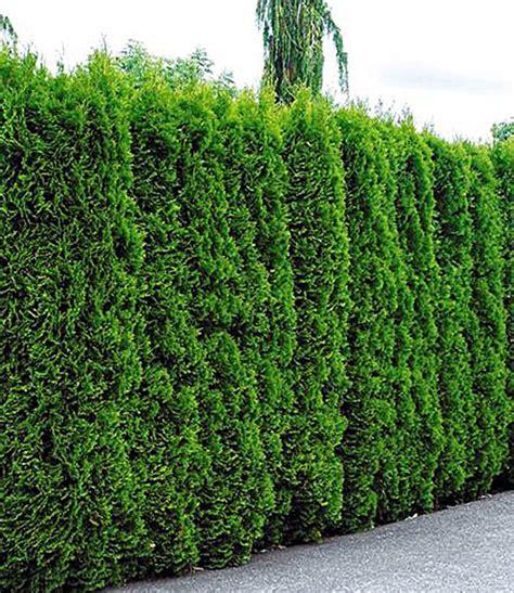 lebensbaum hecke thuja smaragd  pflanzen baldur garten