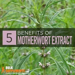 Motherwort Extract  Benefits  Side Effect  U0026 Dosage