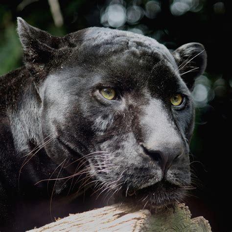 all black jaguar black jaguar wallpaper hd download