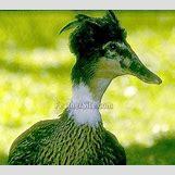 Drake Mallard Duck | 338 x 300 jpeg 22kB
