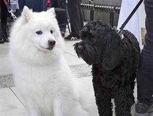 Dogs in Love Valentine's Day: Samoyed and Black ...
