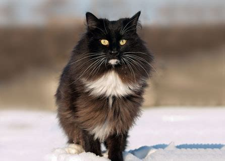 norwegian forest cat insurance breed facts health