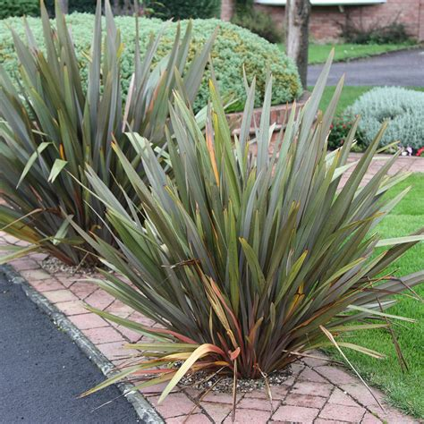 new zealand flax buy new zealand flax phormium tenax delivery by waitrose garden in association with crocus