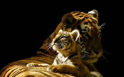 Tigres Wallpapers Desktop Moment Background