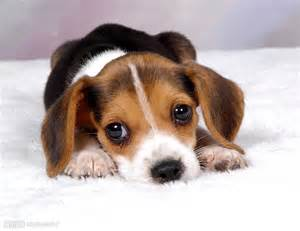 Best Lap Dogs That Dont Shed by 可爱的图片图片 狗狗图片大全可爱 图 可爱小猫图片大全 图