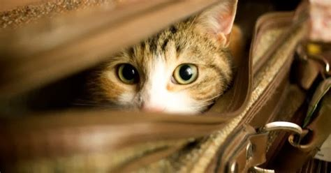 how to de stress you cat exclusively cats veterinary hospital four things you can do to de stress pet travel