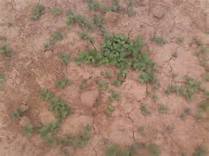 Winter Wheat for Deer Food Plot Oats
