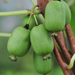 L Arbre Du Kiwi : vitikiwi kiwi arguta colonne autofertile h berli fruchtpflanzen ag neukirch egnach ~ Melissatoandfro.com Idées de Décoration