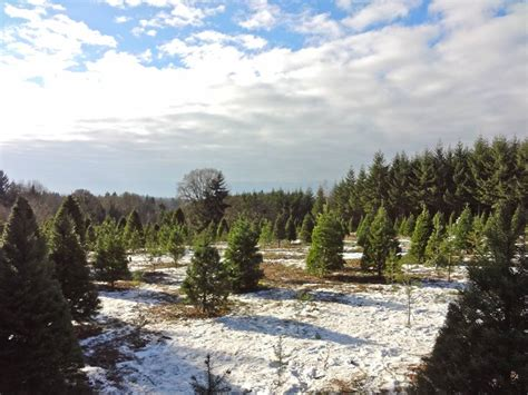 christmas tree farm near portland oregon lil bit