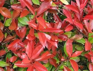 Photinia Red Robin : photinia fraseri red robin jardiner a donostia lorezaintza ~ Michelbontemps.com Haus und Dekorationen
