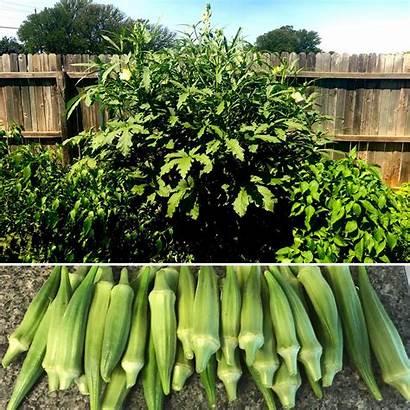 Okra Plant Pods Harvest Yesterday