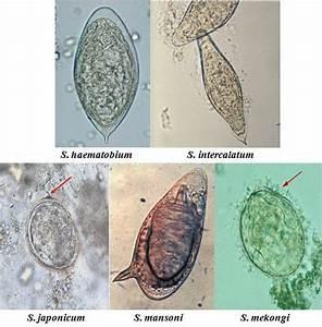 6 Egg Morphology Of Schistosoma Spp  The Five Species  S