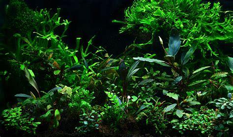 les plantes de l aquarium mur v 233 g 233 tal et aquariums