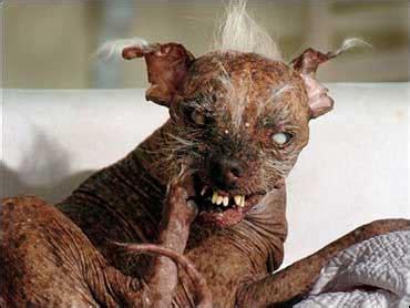 worlds ugliest dog dies cbs news