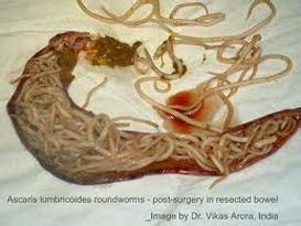 parasites flea ticks mosquitoes fasts  akc