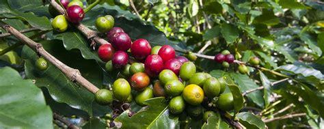 In 1779, coffee production began in costa rica. Costa Rica Coffee, Coffee Beans - El Grano de Oro - About Costa Rican Coffee, Info, Facts ...