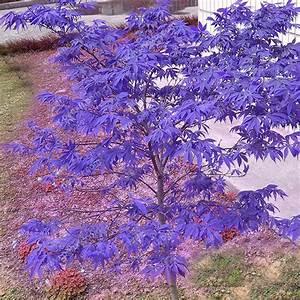 30pcs Purple Maple Seeds Rare Color Beautiful Purple Ghost