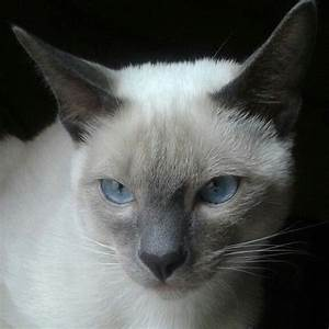 Siamese, blue point | Siamese cats | Pinterest